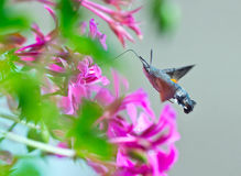 Hummingbird moth Royalty Free Stock Images