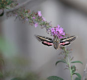 Hummingbird Moth with flowers Stock Photos