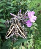 Hummingbird Moth or Hemaris Sp. Royalty Free Stock Photos