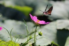 The hummingbird moth Stock Photos