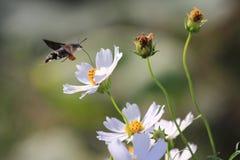 The hummingbird moth stock photography