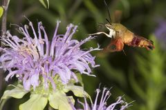 Hummingbird moth hovers while foraging on lavender bee balm flow. Hummingbird moth, Hemaris thysbe Sphingidae, caught in flight while foraging for nectar at a Stock Photos