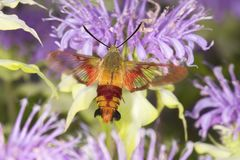 Hummingbird moth hovers while foraging on lavender bee balm flow. Hummingbird moth, Hemaris thysbe Sphingidae, caught in flight while foraging for nectar at a Royalty Free Stock Photos