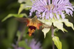 Hummingbird moth hovers while foraging on lavender bee balm flow Royalty Free Stock Image