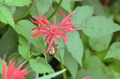 Hummingbird moth. Is feeding on the bee balm nectar royalty free stock images