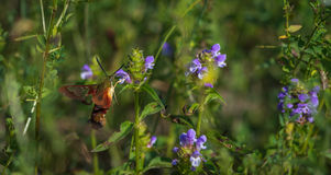 Hummingbird moth hunting for nector. 1 Royalty Free Stock Photos