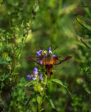 Hummingbird moth hunting for nector. 1 Stock Photography