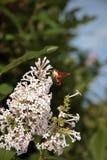 Hummingbird Moth Stock Image