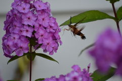 Hummingbird Moth and Phlox. The Hummingbird Moth alighting on a stalk of Phlox flowers. This moth is also known as a Bumblebee Moth and a Clearwing Moth Stock Image