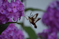 Hummingbird Moth and Phlox. A beautiful Hummingbird Moth seeking pollen from a cluster of Phlox flowers. This moth is also known as a Bumblebee Moth and a Stock Photos