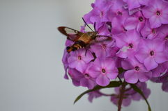 Hummingbird Moth and Phlox. A beautiful Hummingbird Moth seeking pollen from a cluster of Phlox flowers. This moth is also known as a Bumblebee Moth and a Stock Photo