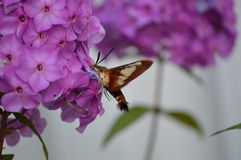 Hummingbird Moth and Phlox. A beautiful Hummingbird Moth seeking pollen from a cluster of Phlox flowers. This moth is also known as a Bumblebee Moth and a Stock Images