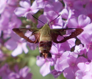 Hummingbird Moth On Pink Flower Stock Photos