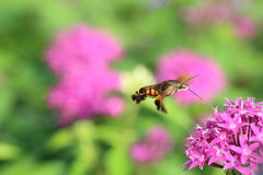 Hummingbird moth with rock isotoma Royalty Free Stock Photos