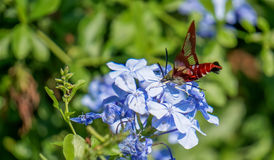 Hummingbird Moth sipping Nectar. The hummingbird moth is an enchanting insect. They look like small hummingbirds but they are nectar feeders Royalty Free Stock Image