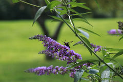 Hummingbird Moth sipping nectar from Purple flower Stock Photography