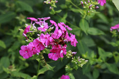 Hummingbird Moth sipping nectar from Pink Phlox royalty free stock images