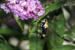 Hummingbird moth, the sphinx moth. Hemaris is a genus of sphinx moths, consisting of about 17 species native to the Holarctic,  Hummingbird Moths Stock Photo