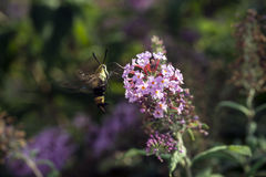 Hummingbird moth, the sphinx moth. Hemaris is a genus of sphinx moths, consisting of about 17 species native to the Holarctic,  Hummingbird Moths Royalty Free Stock Photo
