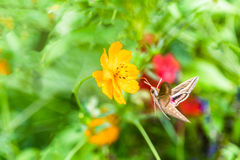 Hummingbird moth (White-lined Sphinx Moth) is flying and feeding. Stock Photos
