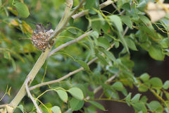 Hummingbird mother and babies in nest Stock Images