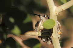 Hummingbird mother and babies in nest Stock Photos