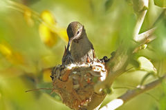 Hummingbird mother and babies in nest Royalty Free Stock Photo
