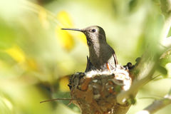 Hummingbird mother and babies in nest stock photo