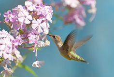 Hummingbird in motion. Gorgeous female ruby throated hummingbird in motion collecting nectar from flowers Stock Photography