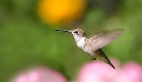 Hummingbird in motion. Beautiful young hummingbird in motion in front of flowers with room for text Stock Photos