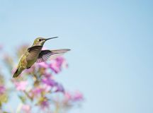 Hummingbird in motion. Royalty Free Stock Images