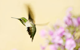 Hummingbird in motion. Stock Photography