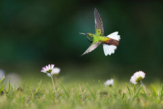 Hummingbird in motion in the field Royalty Free Stock Image