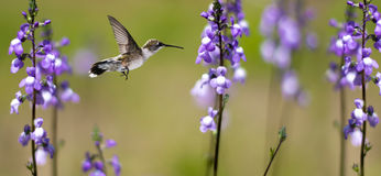 Hummingbird in Motion Surrounded by Purple Flowers Stock Images
