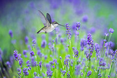 Hummingbird in Motion Surrounded by Purple Lavender Flowers Stock Images