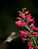 Hummingbird moves to flower. Royalty Free Stock Photography