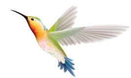Hummingbird na białym tle Obraz Royalty Free