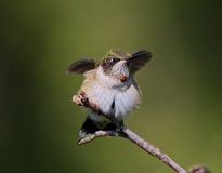 Hummingbird na gałąź Zdjęcia Stock