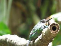 Hummingbird na gałąź - Mata Atlantica- Paraty obrazy stock