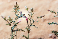 Hummingbird na kwiatu Arizona osecie (Cirsium arizonicum) Ber Obrazy Royalty Free