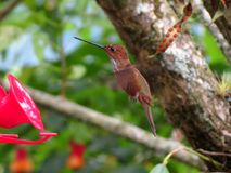 A hummingbird in natural environment Stock Photography