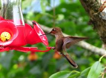 A hummingbird in natural environment Stock Photos