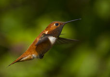 Hummingbird in natural flight Royalty Free Stock Image