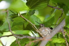 Hummingbird Nest. Closeup view of a hummingbird sitting in a nest stock images