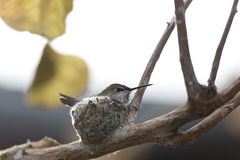 Hummingbird on the Nest Stock Photos
