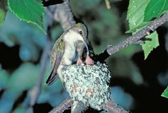 Hummingbird at nest. Ruby throated hummingbird at nest Stock Photos