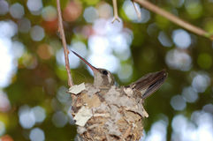 Hummingbird in nest. With blurred leaves and sky background stock image