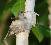 Hummingbird on nest Royalty Free Stock Photography