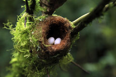 Hummingbird Nest with Eggs. Each about the Size of a Jellybean. Boquete, Panama stock image