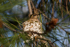 Hummingbird on Nest. Female hummingbird, siting on her nest made of lichen and spider's web high in a conifer tree Royalty Free Stock Image